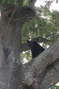 Bear Sighting Pic 2